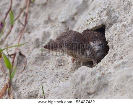 The Locally Endangered Bicolored Shrew (Crocidura leucodon) Peeking from it's Burrow poster