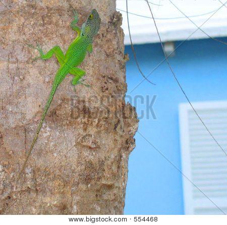 Bda Style Lizard