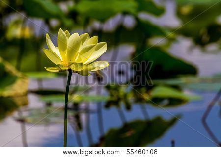 A Beautiful Blooming Yellow Lotus Water Lily Pad Flower