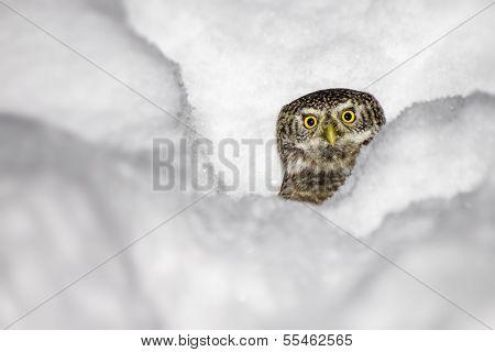 The Eurasian Pygmy Owl, Glaucidium passerinum)