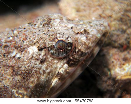 An ambushed lizardfish awaits for its prey poster