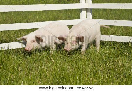 small pigs on a grass. small pigs on a grass. poster