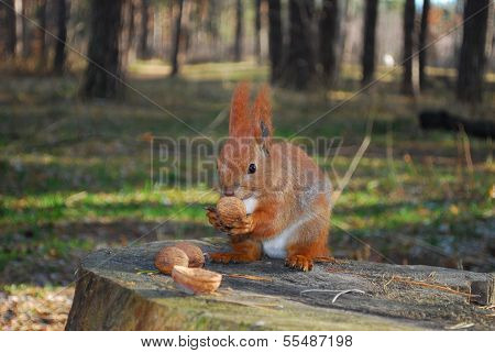 In the pine forest Squirrel sitting on a stump is eating a nut . poster