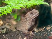 Tuatara also called living fossil is a native reptile in new zealand poster