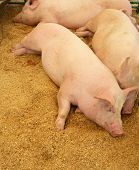 Pink pigs resting on good bedding of wood shavings poster