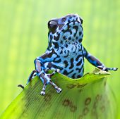 Blue strawberry poison dart frog from the tropical rain forest in Panama. Macro portrait of a colorful exotic rainforest amphibian. Dendrobates pumilio Colubre a poisonous animal.  poster
