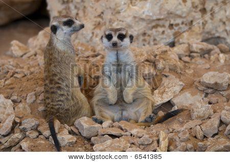 Meerkat portrait
