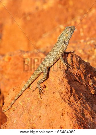 Mottled Lizard Sitting On Rocks And Basking In The Sun