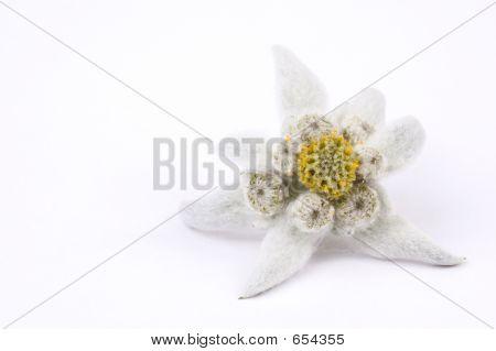 Edelweiss White