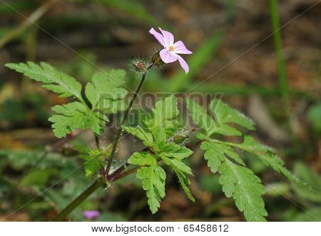 Herb-robert - Geranium Robertianum