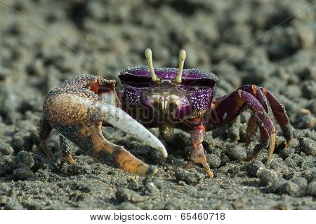 Male Purple Fiddler Crab From West Africa Filtering Sand