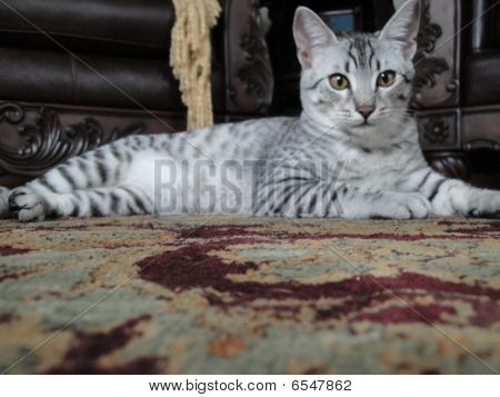 Regal Egyptian Mau Cat relaxing at home poster