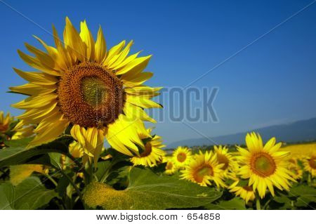 Swiss Sunflowers