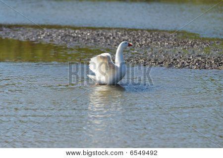 White italian goose