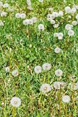 green lawn with blowball dandelions in summer day poster