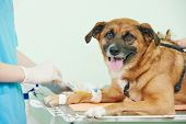 veterinarian surgeon worker making medical examination blood test of dog in veterinary surgery clinic poster