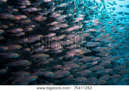 a bunch of glass-fish, met in the clear waters of Sharm el Sheikh Red Sea poster