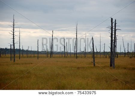 Dead Trees At Swamp Area