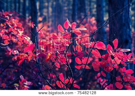 Fantastic forest with Cotinus coggygria. Dramatic scene. Red autumn leaves. Crimea, Ukraine, Europe. Retro style filter. Instagram toning effect. Beauty world.