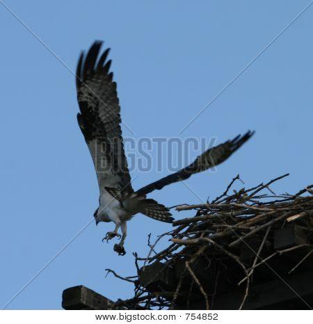 Osprey Taking to Flight