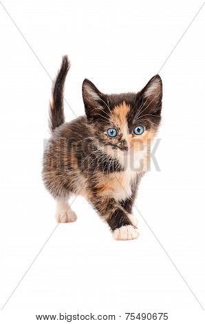 Calico Kitten Standing