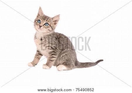 Sitting Tabby Kitten