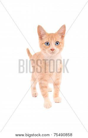 Orange Tabby Standing
