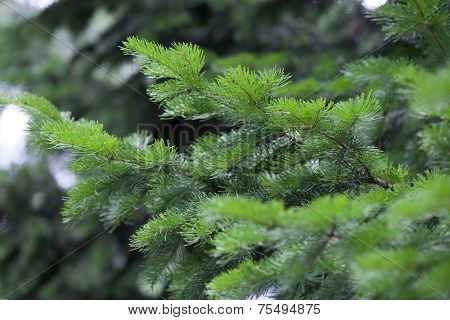 Natural spruce branches, needles closeup. Christmas greens poster