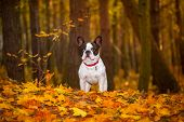 Portrait of french bulldog in autumnal scenery poster