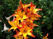 beautiful yellow and red lilies on garden poster