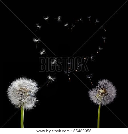 two old dandelions and heart symbol from flying seeds isolated on black background