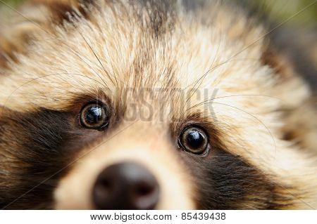 Raccoon Dog, Cute Close-up Portrait