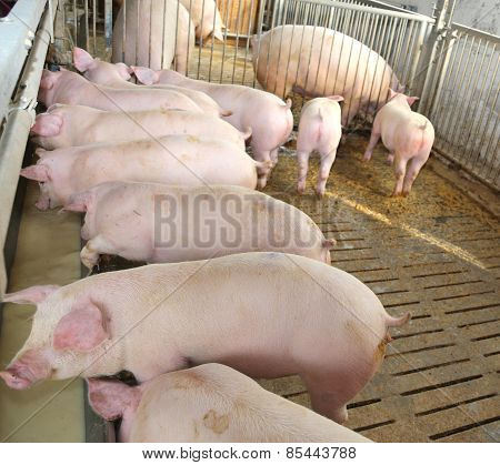 Young Pink Pigs In The Sty Of The Farm