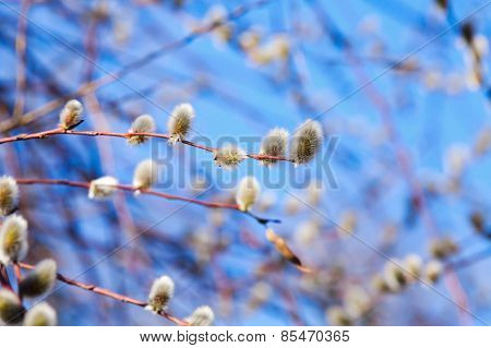 Pussy-willow Branches With White Catkins On A Blue Sky