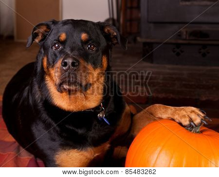 A Dog And Her Pumpkin