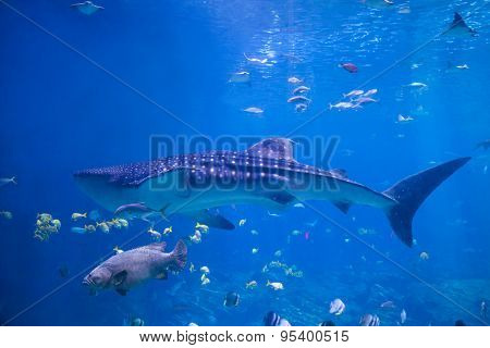 A Whale Shark (Rhicodon Typus) swims in shallow water past a grouper and rays