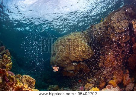 Underwater shot of the coral reef with fishes, predators and prey (big fish in the center is predator named Lion fish)