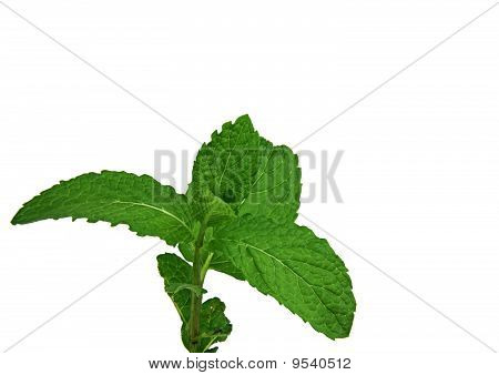 Sprig Of Fresh Mint Isolated Over White