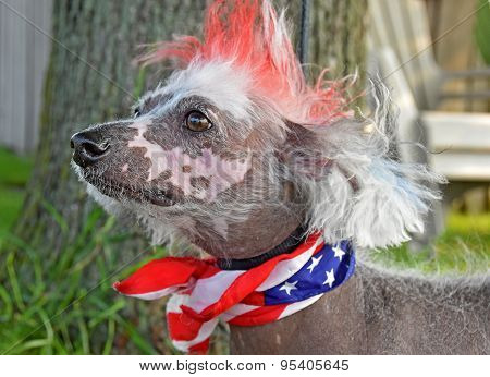Patriotic scarf on a Chines Crested Hairless dog with dyed red fur. poster