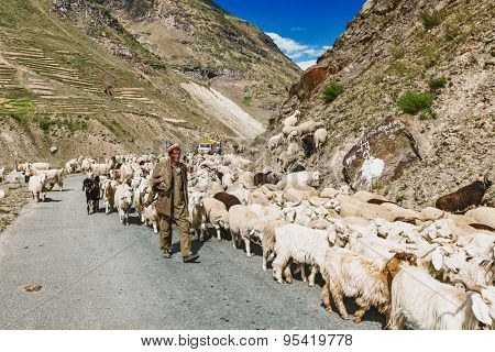 LADAKH, INDIA - SEPTEMBER 5, 2012: Cashmere shepherd with herd of pashmina goats and sheep in Ladakh, India