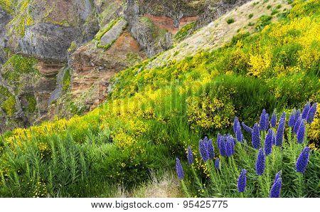 Pride of Madeira - Echium Fastuosum, Pico do Arieiro, Portugal, Europe