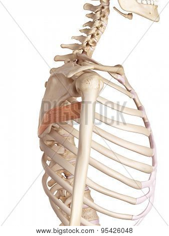 medical accurate illustration of the teres major