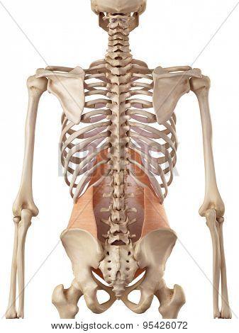 medical accurate illustration of the transversus abdominis