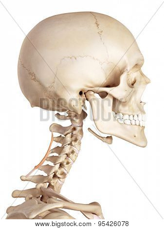 medical accurate illustration of the spinalis cervicis