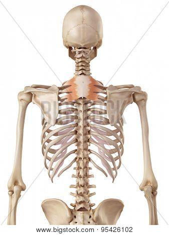 medical accurate illustration of the serratus posterior superior
