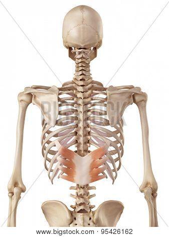 medical accurate illustration of the serratus posterior inferior