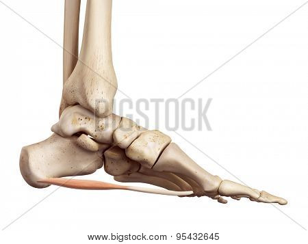 medical accurate illustration of the abductor digiti minimi medial