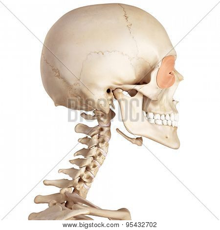 medical accurate illustration of the orbicularis oculi