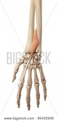 medical accurate illustration of the extensor indicis