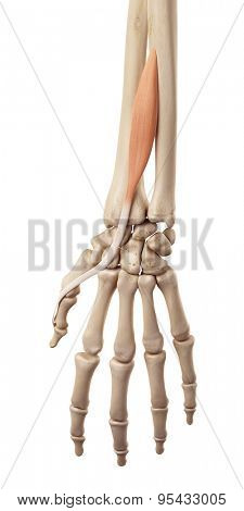 medical accurate illustration of the extensor pollicis longus